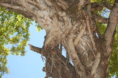 10-20 olinda tree