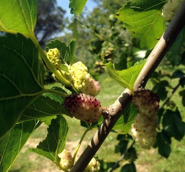 the mulberry tree in the yard dripped with ripe fruit