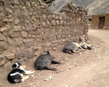 the outskirts of Pisac are pretty rustic -- wild pigs feast on scraps along the river, protected by their friendly guard dog