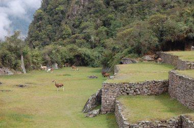 10-2 llamas grazing closeup