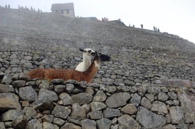 10-4 llamas grooming closeup