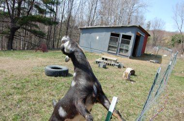 4-25 goat stretch