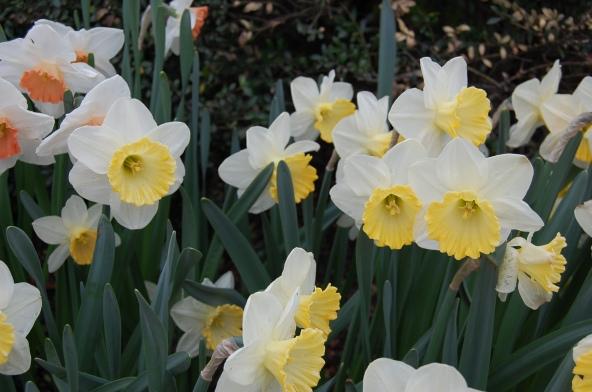 5-9 daffodils