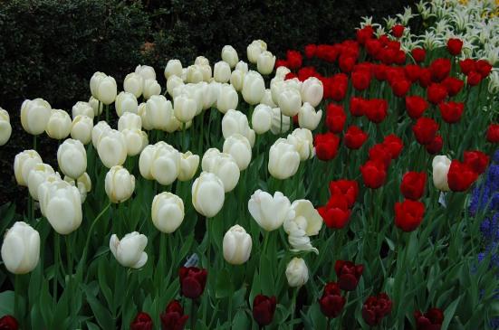 5-9 tulips