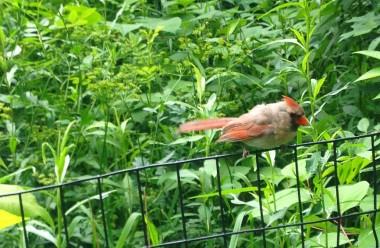 6-16 redbeak birdie