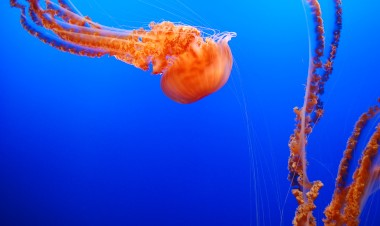 6-7 black sea nettle 2