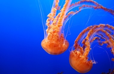 6-7 black sea nettle best