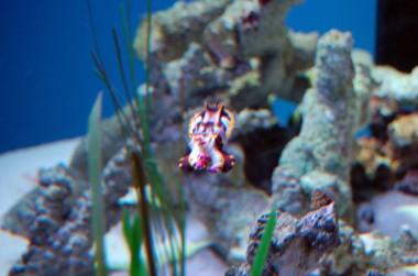 6-7 flamboyant cuttlefish