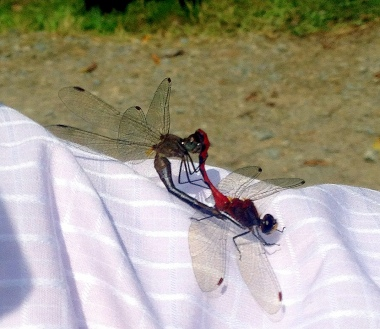 dragonflies inspired by gay nuptials