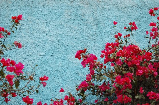 2-3 blue wall red bourgainvillea