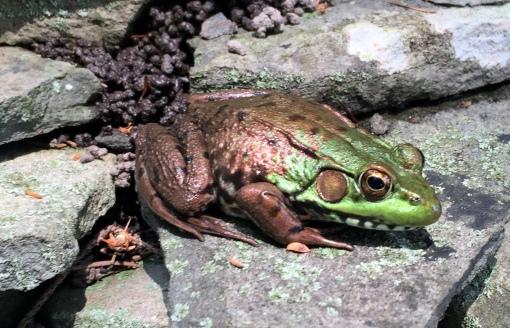 7-28 resident frog