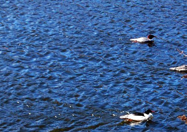 2-26 ducks