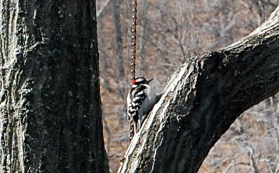 2-26 stripey woodpecker
