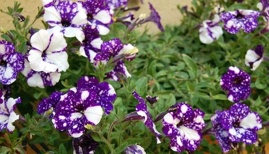 6-14 purple petunias 2