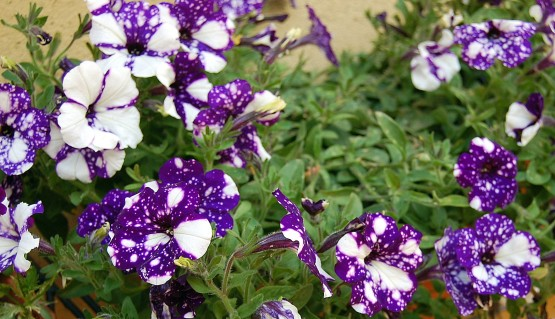 6-14 purple petunias 2