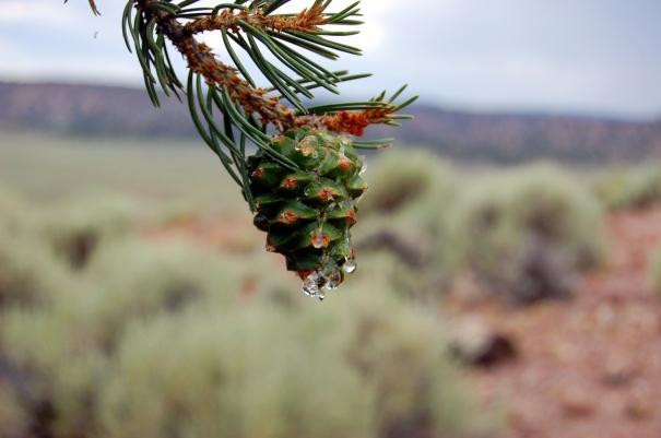 8-2 pine sap