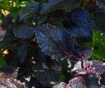 9-11-deep-purple-leaves