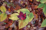 10-27 red leaf ongreen