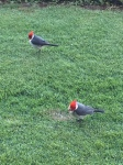 2-9 red-crested cardinals