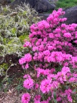 4-29 rhododendra